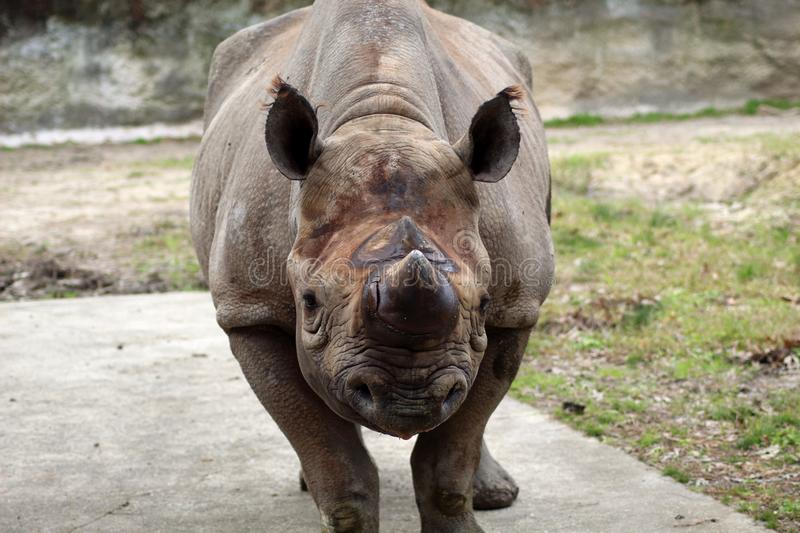 The mighty Indian Rhinoceros staring at the camera. The Indian rhino skin has many loose folds and lumps giving it an armored appearance. They live in swampy royalty free stock images