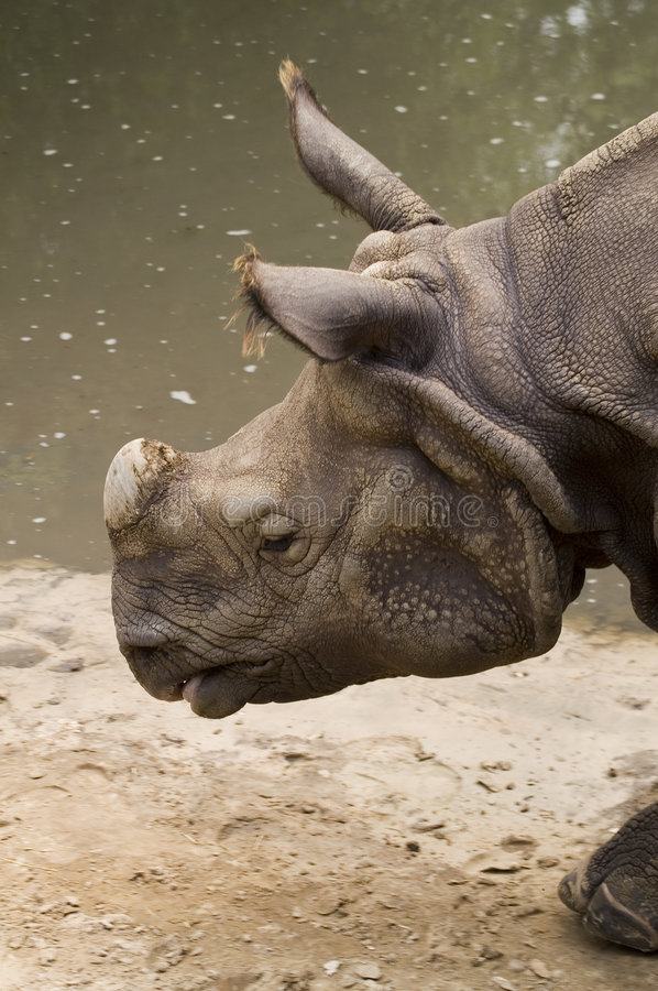 Download Indian Rhinoceros stock photo. Image of huge, body, male - 1606234