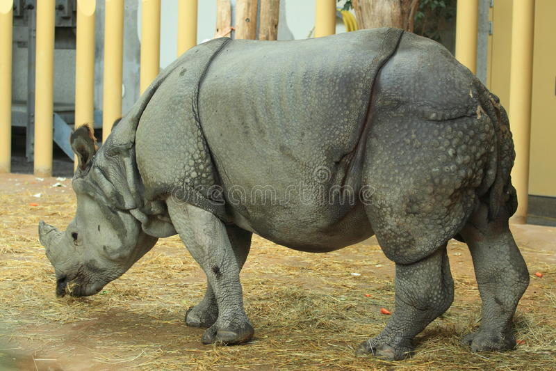 Download Indian rhinoceros stock photo. Image of adult, rhinoceros - 21755112