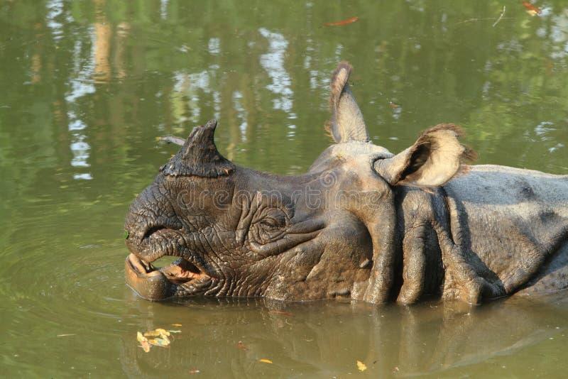 Indian Rhinoceros. An indian rhinoceros in a lake stock photo
