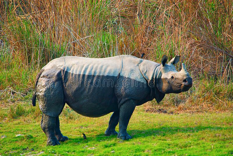 The Indian rhinoceros, Rhinoceros unicornis royalty free stock photo