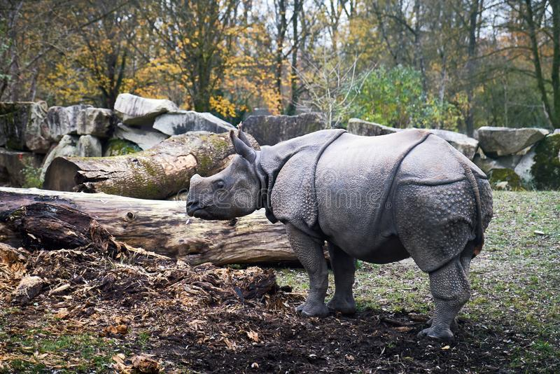 Indian rhinoceros Rhinoceros unicornis royalty free stock photos