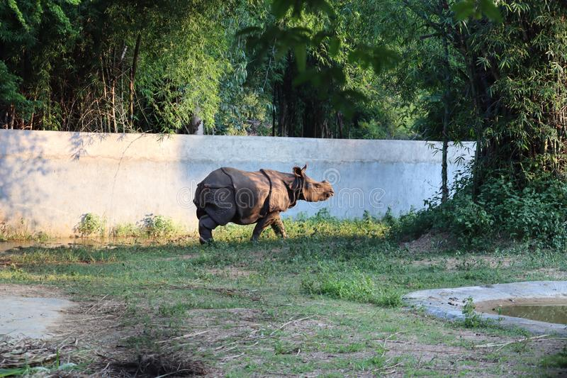 The Indian rhinoceros & x28;Rhinoceros unicornis& x29;, also called the greater one-horned rhinoceros and great Indian rhinoceros stock image