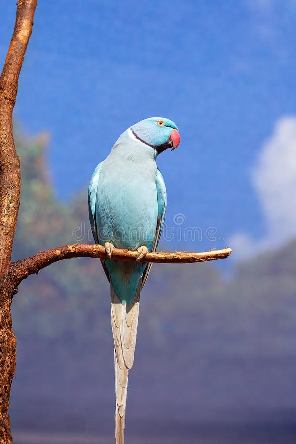 Indian Ring Neck Bird From India. Blue Indian ring neck parrot sitting on a branch with wire cage background against a blue sky royalty free stock photos