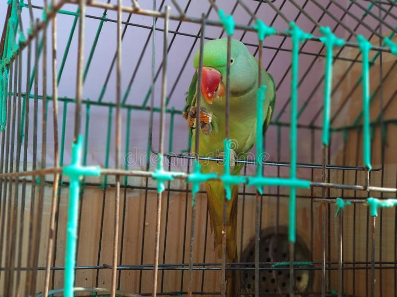 Indian ring neck parrot eating almonds royalty free stock photo