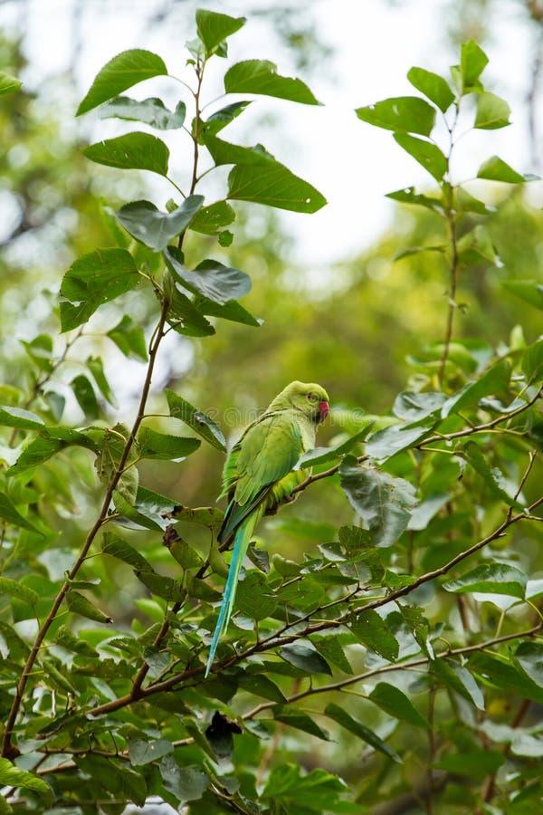 Indian Ringnecked Parakeet parrot stock photo