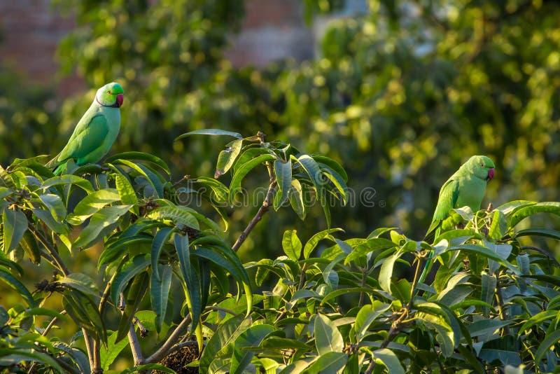 Indian Ringnecked Parakeet parrots stock photo
