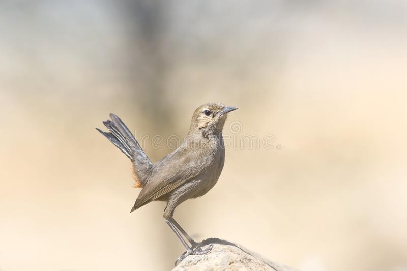 Indian Robin royalty free stock photos