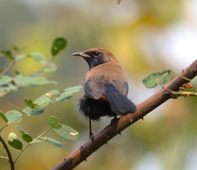 Indian robin male royalty free stock image