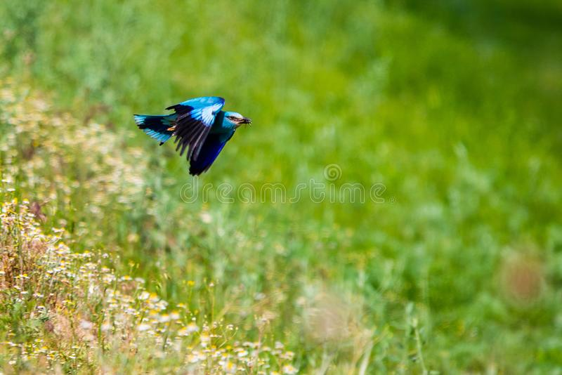 Indian roller is beautiful bird that has a mesmerizing sky blue colored tail with a hint of Prussian blue color. Its throat and. Neck is noted to be purplish royalty free stock photography