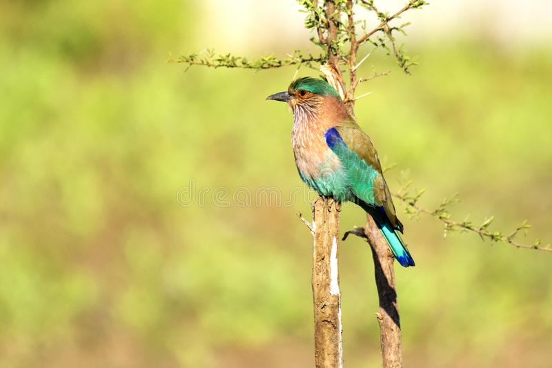 Indian Roller at Bhilai, Chhattisgarh. Indian Roller at Bhilai Chhattisgarh India stock images
