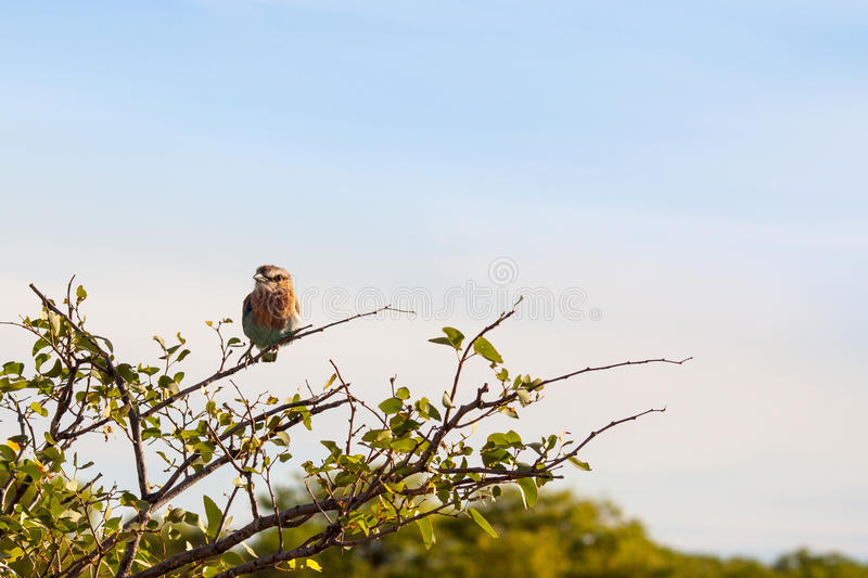 Indian Roller Bird Sitting on a Tree, Namibia stock images