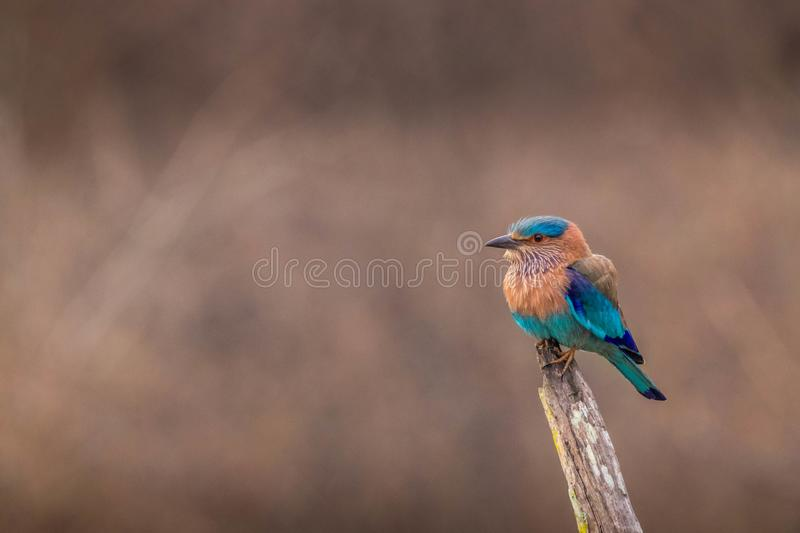 Indian roller blue jay bird during safari at kabini forest. Indian roller blue jay bird during jeep safari with awesome view at kabini forest area stock photo