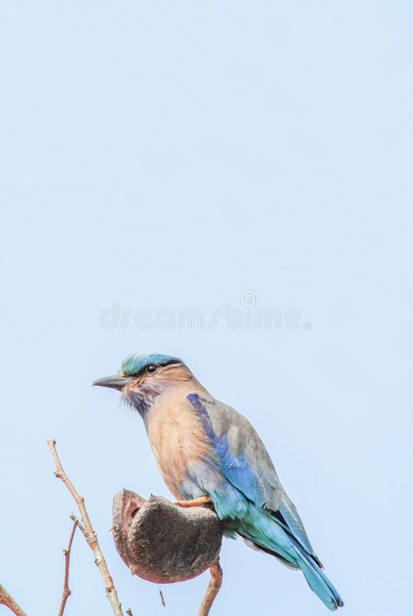 Indian Roller Coracias benghalensis. On the branch. They are found widely across tropical Asia stock photos