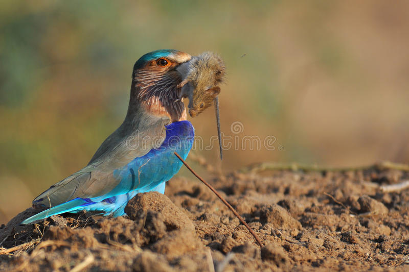 Indian Roller royalty free stock image