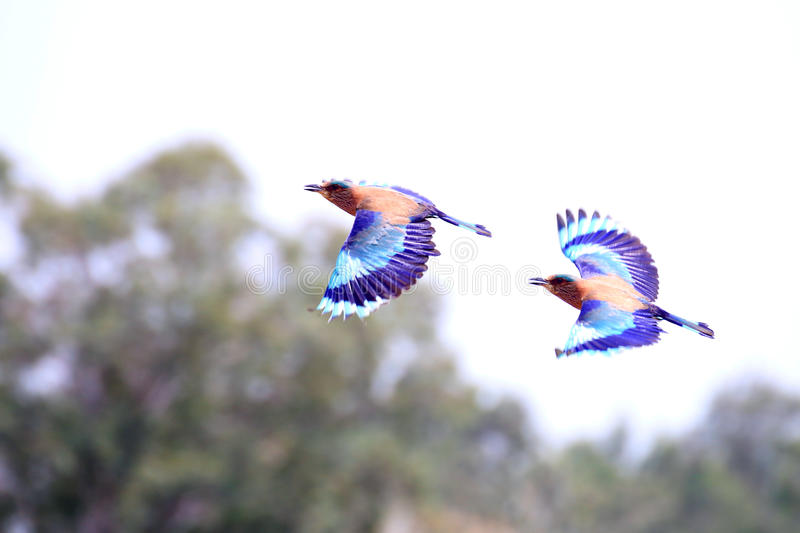 Indian Rollers stock photos