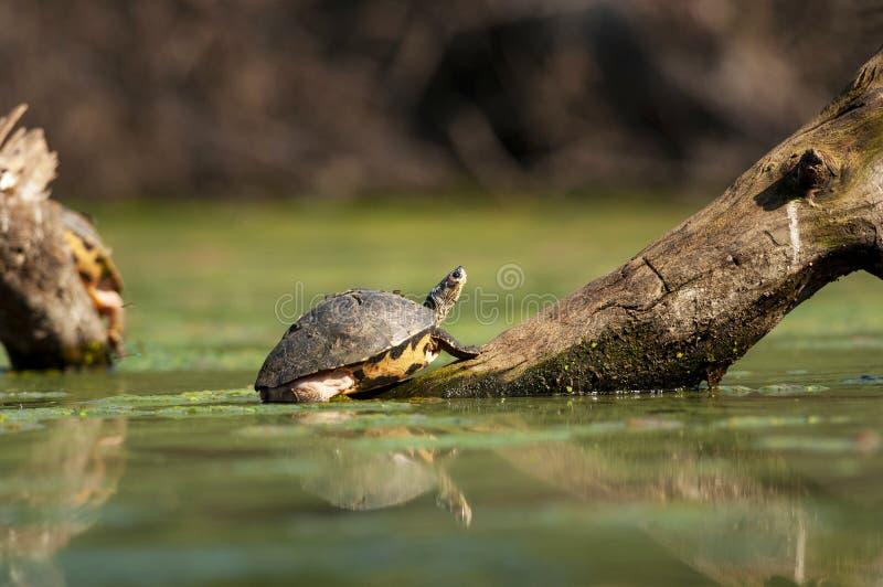 Indian roofed turtle, Pangshura tecta, Bharatpur, Rajasthan, India. Indian roofed turtle, Pangshura tecta, Bharatpur Rajasthan India stock photo