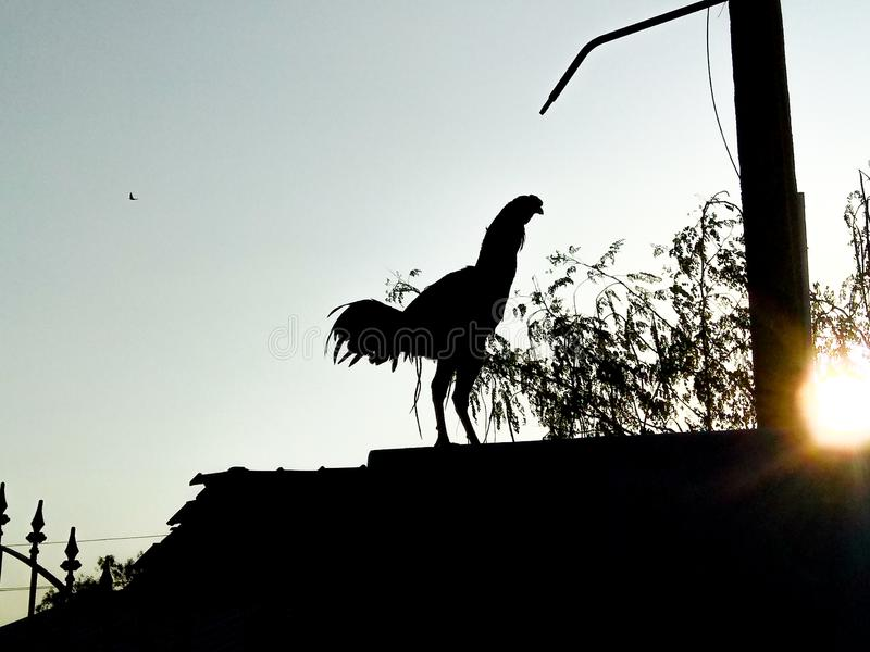 Indian rooster crowing in the morning sunrise stock image