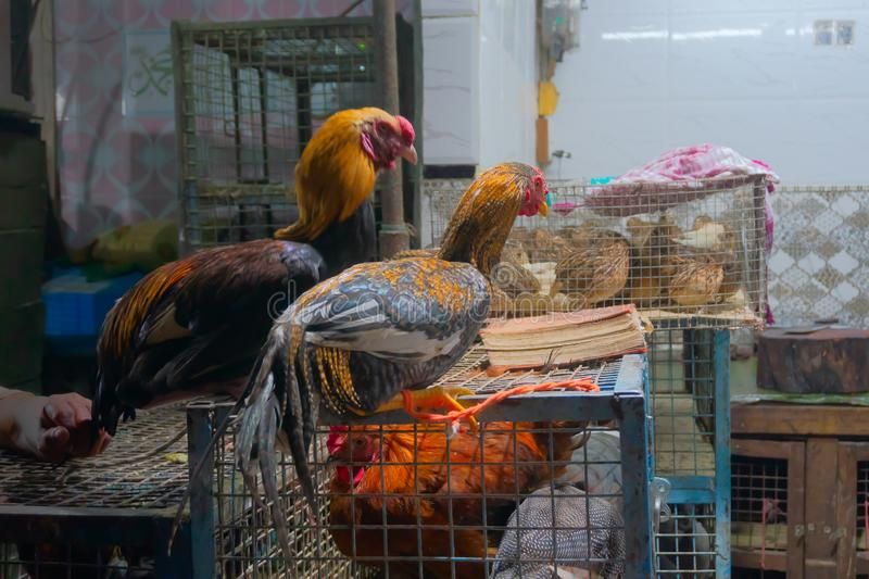 Indian roosters for sale. Roosters for sale at old Delhi market. A rooster, also known as cock, is a male gallinaceous bird - an adult male chicken - Gallus royalty free stock photo