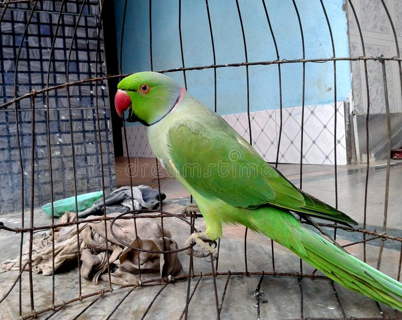 Indian rose ringed neck green parakeet parrot in a cage. A beautiful rose ringed neck Indian parakeet parrot in a cage in a household as pet sitting and playing stock photography