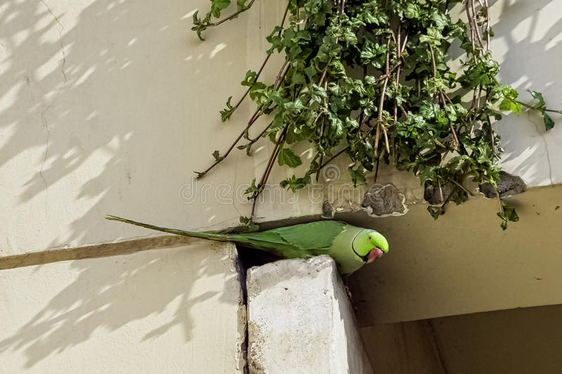 Indian rose-ringed parakeet, also known as the ring-necked parakeet - New Dekhi, India. Indian rose-ringed parakeet /Psittacula krameri manillensis/, also known royalty free stock images