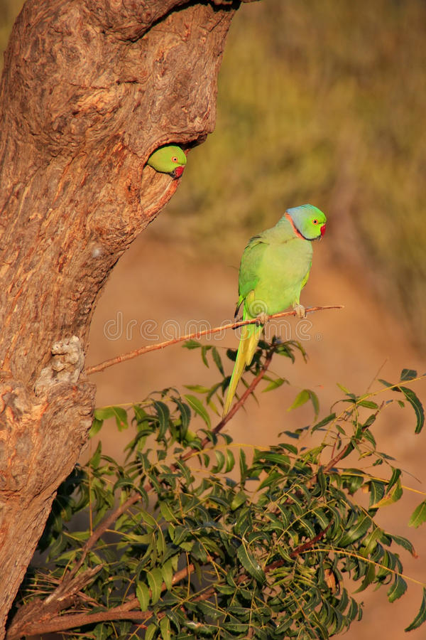 Indian Rose-ringed Parakeet sitting on a tree, Pushkar, Rajasthan, India. Indian Rose-ringed Parakeet (Psittacula krameri) sitting on a tree, Pushkar, Rajasthan royalty free stock photography