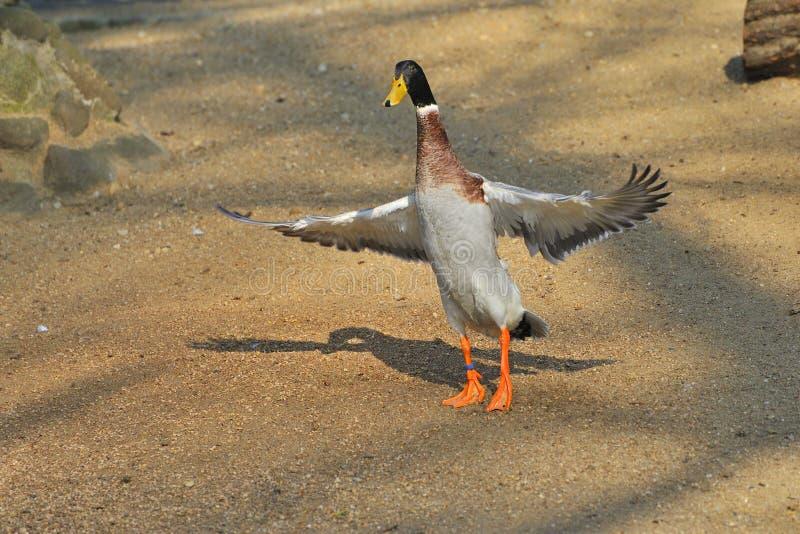 Download Indian Runner Duck stock photo. Image of rural, bird - 25137918