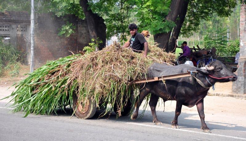 Indian rural life. Boy using bullock-cart as a way of transportation in hoshiarpur punjab india stock photography
