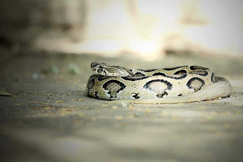 Indian Russell`s viper snake wild wallpaper. The Russell`s Viper Dabois russelii is a venomous snake and a member of the big four snakes in India. The Russell`s stock photography