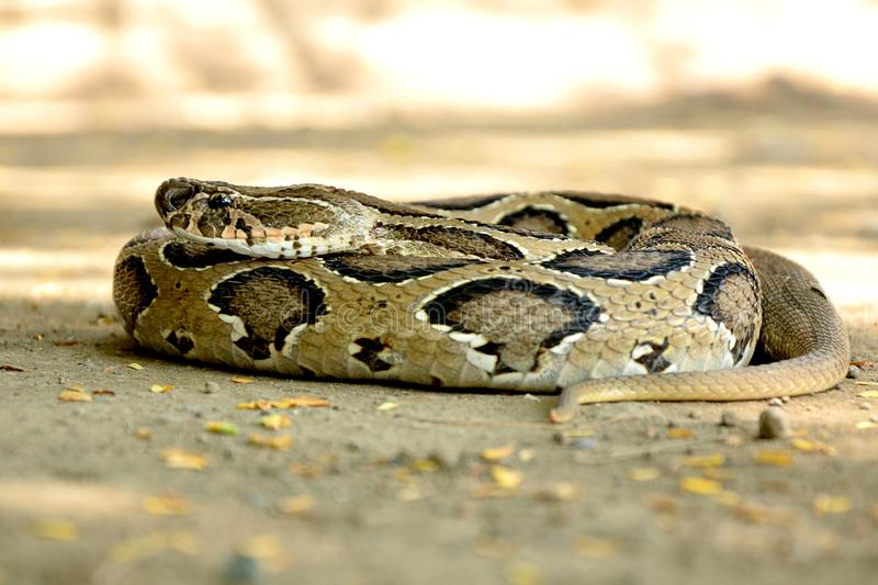 Indian Russell`s viper snake wild wallpaper. The Russell`s Viper Dabois russelii is a venomous snake and a member of the big four snakes in India. The Russell`s royalty free stock photos