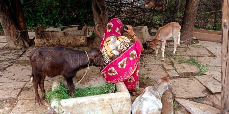 An indian shipyard lady talking to mobile phone seating at animals pot. Villager, teen, operating, laptop, computer, corridor, grandfather, using, conversation royalty free stock photo