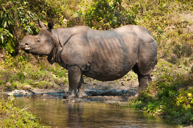 Download Rhino near a stream stock photo. Image of looking, huge - 30023442