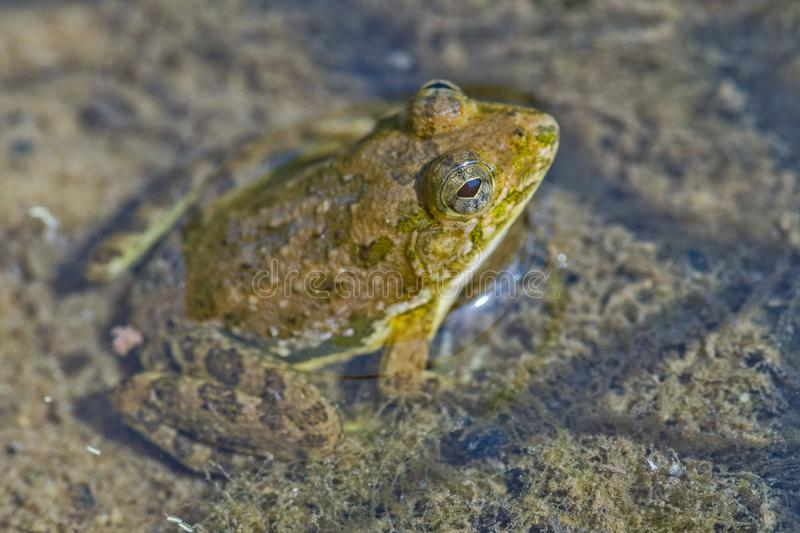 Indian Skipper frog in the forest river royalty free stock photography