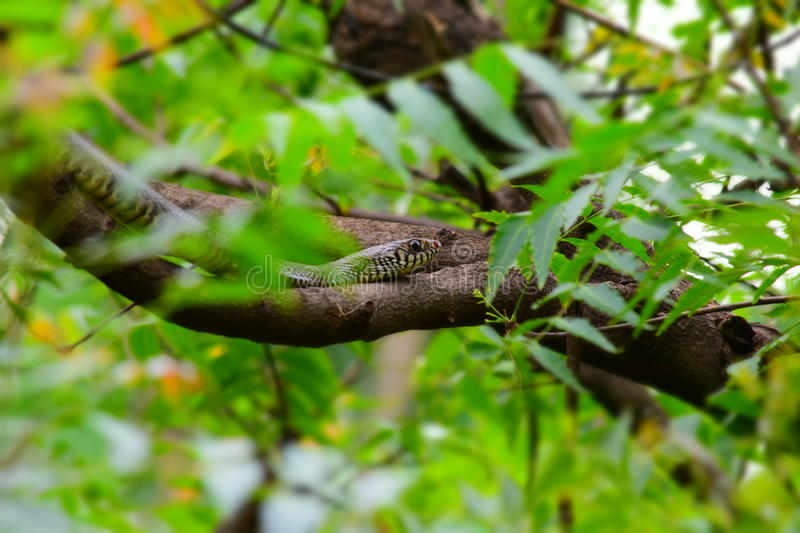 Indian Snake. Daboia is a monotypic genus[2] of venomous Old World viper. The single species, D. russelii, is found in Asia throughout the Indian subcontinent royalty free stock image