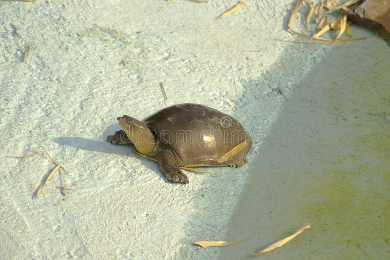 Indian Softshell Turtle. (Nilssonia gangetica) found in large rives in India. They are placed in VU(Vulnerable) category of IUCN royalty free stock image