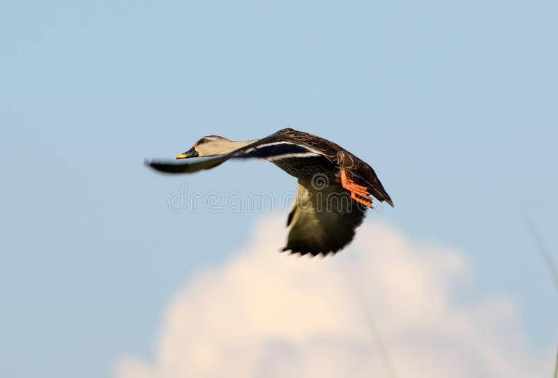 Indian spot billed duck royalty free stock photos