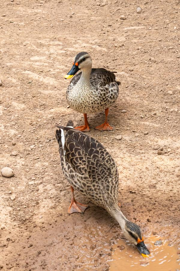 Indian spot-billed duck royalty free stock image