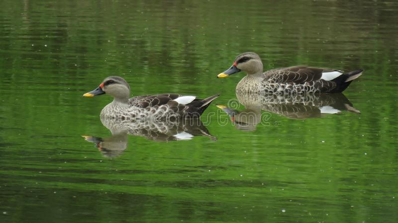 Spot-billed Duck royalty free stock photography