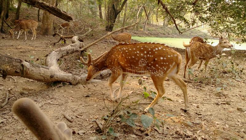 Spotted deer& x27;s Group. stock image