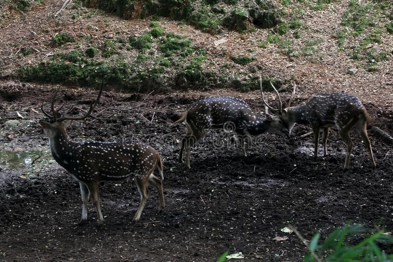 Spotted Deers Fighting royalty free stock image