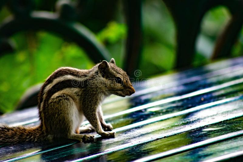 Indian Squirrel Domestic. Found in forests, houses, trees and human habitation and their diet contains mainly of grains, peanuts and seeds. Domestic, india stock photography