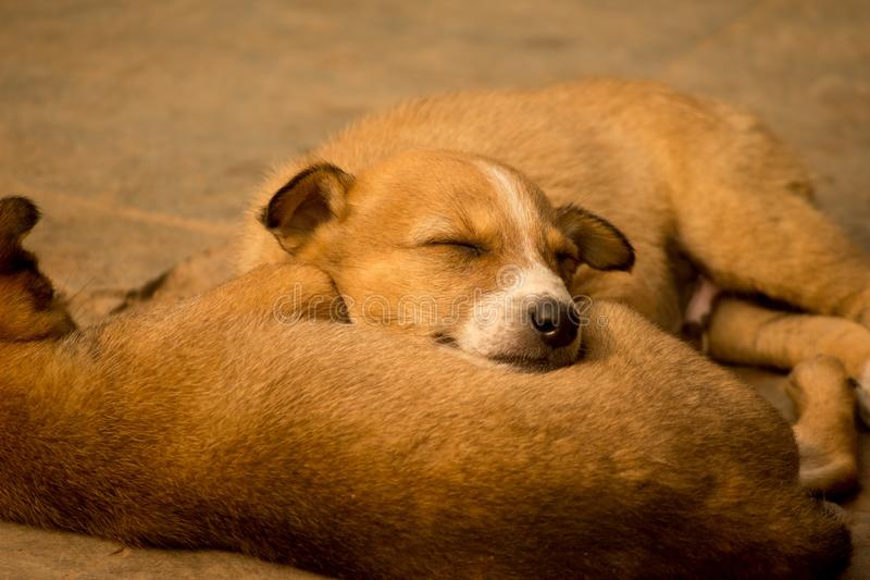 Indian street puppy sleeping royalty free stock images