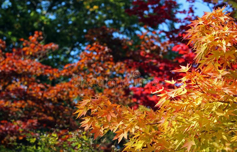 Indian summer, colorful autumn leaves. Golden, red and green royalty free stock images