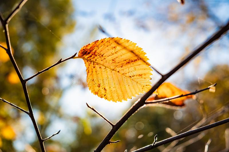 Indian summer concept: autumn sun shining through yellow leaf. B. Ranch of tree with fading bright yellow leaves, photogrpahed against the sun stock images