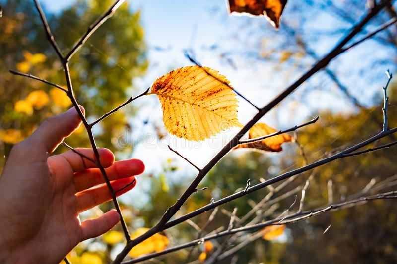 Indian summer concept: autumn sun shining through yellow leaf. H. And touching thin branch of tree with fading bright yellow trees, photogrpahed against the sun stock images