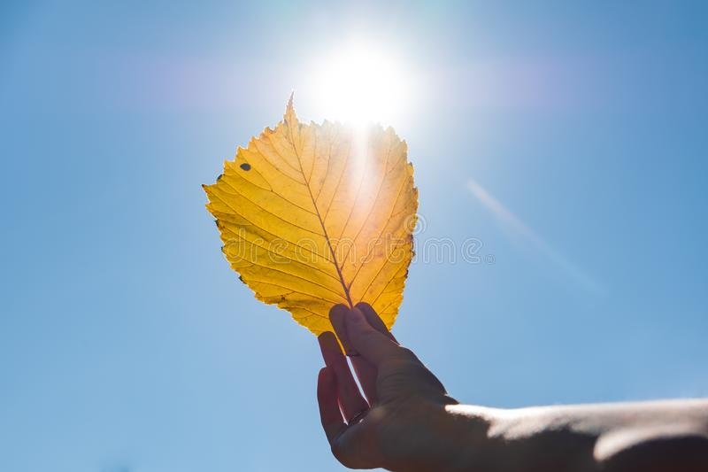 Indian summer concept: autumn sun shining through yellow leaf. H. And holding fading leaf photogrpahed against the sun stock photo