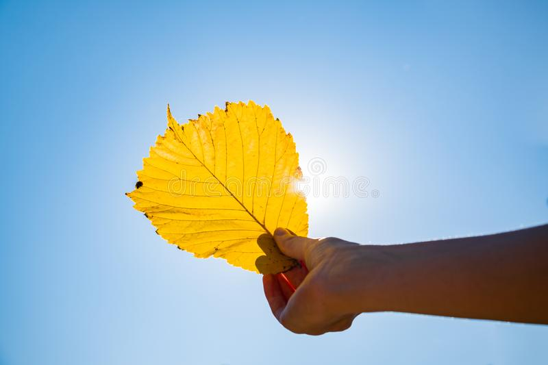 Indian summer concept: autumn sun shining through yellow leaf. H. And holding fading leaf photogrpahed against the sun royalty free stock image