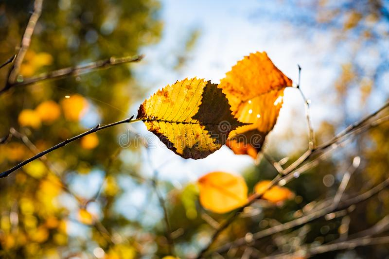 Indian summer concept: autumn sun shining through yellow leaves. Branch of tree with fading bright yellow leaves, photogrpahed against the sun royalty free stock photos