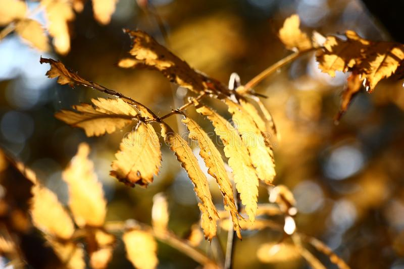 Indian summer in mountain ash leaves. Mountain ash leaves were painted in yellow color of autumn stock photography