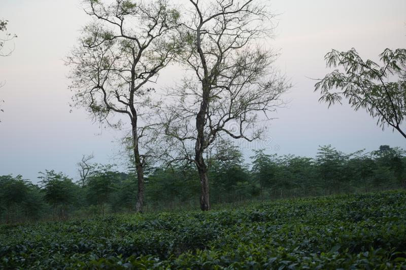 Indian Tea garden of eastern region. This garden is captured at eastern region of India. This place is beautiful royalty free stock photo